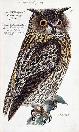 Deutsch: Eule. Aus 'Vorstellung der Vögel Deutschlandes und beylaufig auch einiger Fremden, nach ihren Eigenschaften beschrieben', von Johann Leonhard Frisch (1666-1743). Berlin, 1733-63