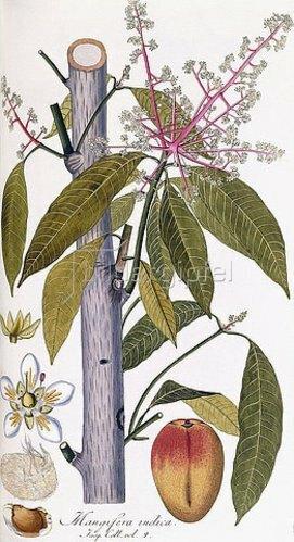 Franz Andreas Bauer: Mangifera indica (Mango), um 1781-95