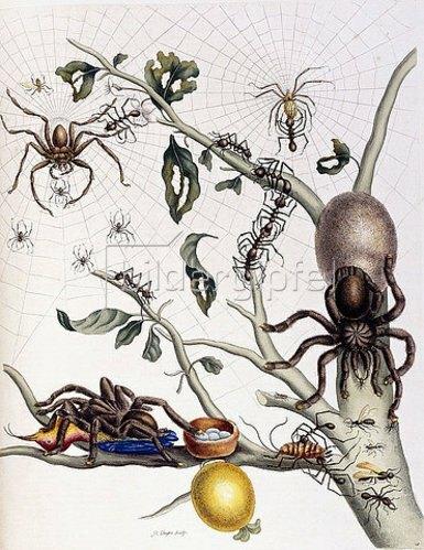 Anna Maria Sibylla Merian: Spinnen, Ameisen und ein Kolibri auf einem Ast der Guave. Aus 'Dissertatio de Generatione et Metamorphosibus Insectorum Surinamensium'. Den Haag, 1726