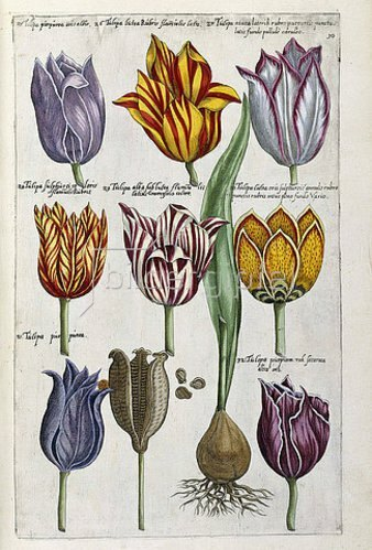 Emanuel Sweert: Verschiedene Tulpen. Aus 'Florilegium amplissimum et selectissimum'. Frankfurt, 1612-14