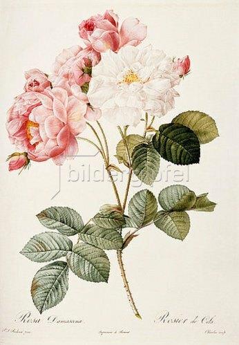 Pierre Joseph Redouté: Damaszenerrose (Rosa Damascena). Aus: 'Les Roses'. 1817-24