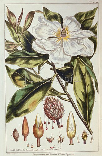 Philip Miller: Magnolia. Aus: 'Figures of the Most Beautiful, Useful and Uncommon Plants...'. Um 1757