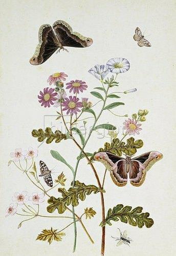 Thomas Robins Jr: Winde und Chrysantheme (Convolvulus and Chrysanthemum).