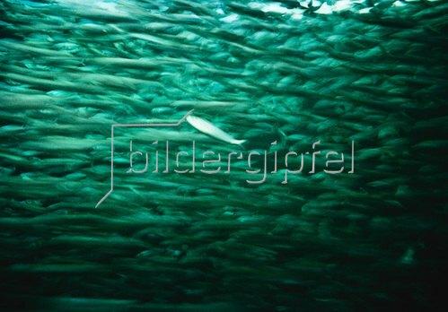 Christoph Hellhake: Fische 2