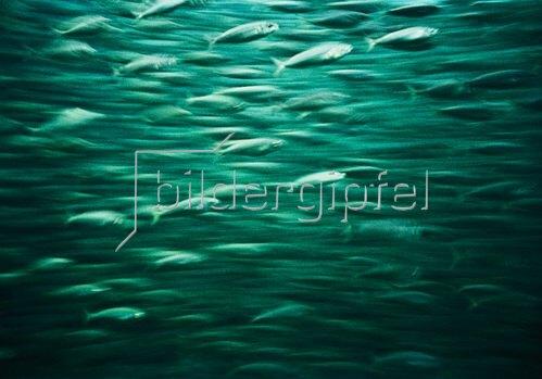 Christoph Hellhake: Fische 3