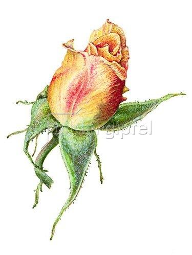 Christina Kraus: Erblühende Rose