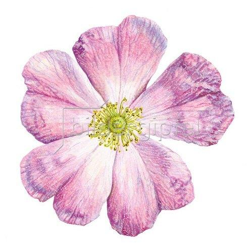 Christina Kraus: Fünfblättrige Rose