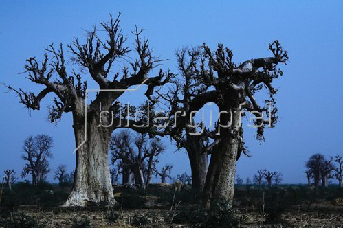 Horst A. Friedrichs: Africa Mali Segou Baobab Trees