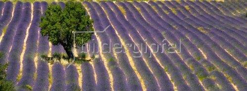 Baum im Lavendelfeld, Provence Alpes Cote d Azur, Frankreich