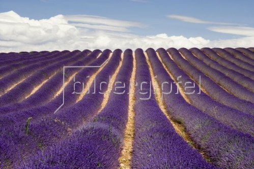 Lavendelfeld in Valensole, Provence Alpes Cote d Azur, Frankreich