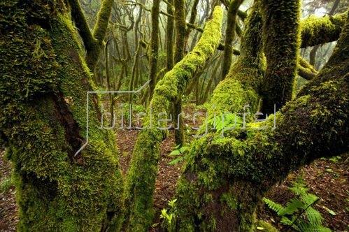 Bemooste Bäume im Nebelwald des Parque Nacional de Garajonay, La Gomera, Kanarische Inseln, Spanien