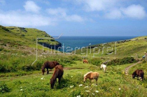 Wildponys an der Atlantikküste bei Tintagel, Cornwall, Südengland, Grossbritannien