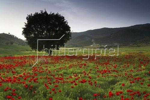Mohnblumenfeld bei Adiyaman, Südostanatolien, Türkei
