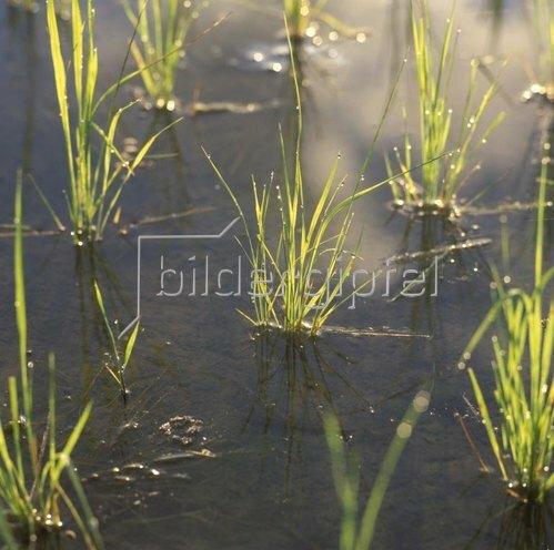 Junge Reispflanzen (Oryza), Bali, Indonesien