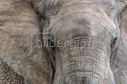 Afrikanischer Elefantenbulle, Südafrika
