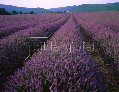 Lavendelfeld in Banon, Provence Alpes Cote d'Azur, Frankreich