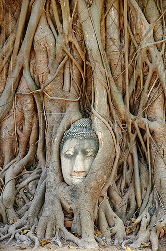 Ayutthaya Historical Park, stone Buddha head entwined in tree roots, Thailand