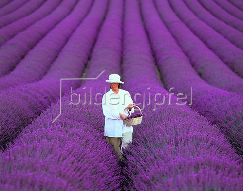 Frau im Lavendelfeld, Provence, Frankreich