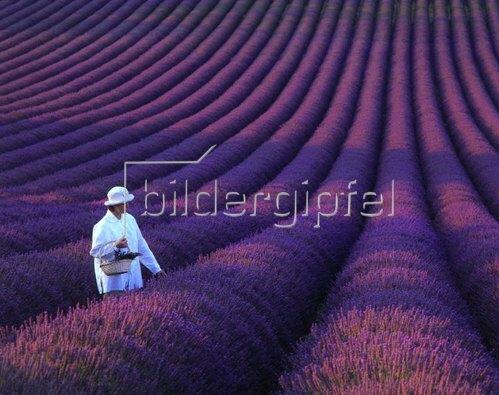 Valensole, girl in lavender field, Provence, Provence-Alpes-Cote-d'Azur, Frankreich