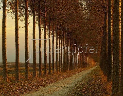Provinz G?rz, country road with poplar trees, Friaul Julisch Venetien, Italien