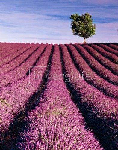 Lavender fields, Valensole, Provence-Alpes-Cote d'Azur, Frankreich