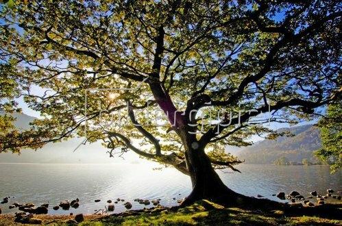 Oak tree, Ullswater, Cumbria, England,
