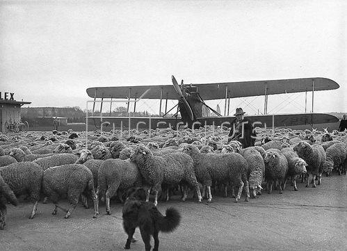 Vorsicht Flugschafe. Schafherden, die eigens zum Abweiden der Rasenflächen des Flugfeldes gebracht wurden. Photographie um 1930