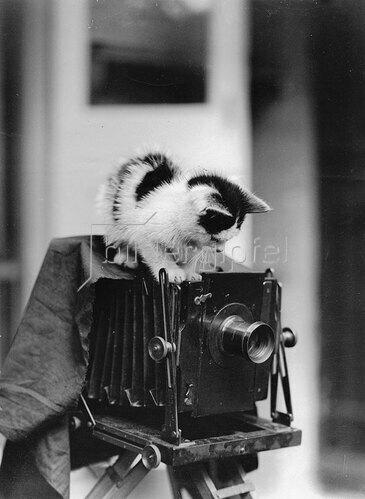 Junge Katze auf einer alten Studiokamera. Photographie. Um 1930.