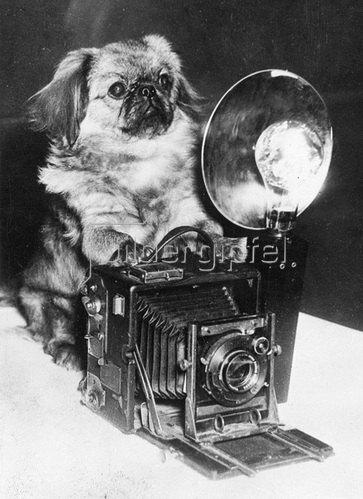 Hund einer Hundeausstellung, Photographie. Um 1930.