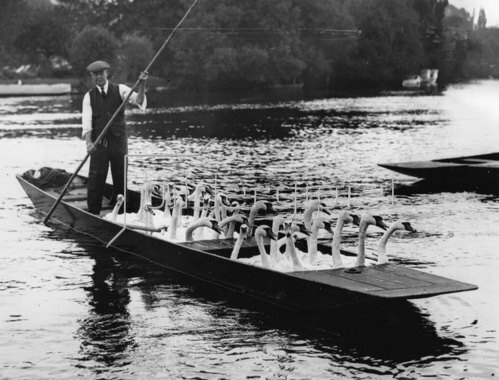 Schwäne im Ruderboot. Wegen der Henley Regatta werden die Schwäne in ein anderes Gewässer übersiedelt. England. Photographie. Um 1930