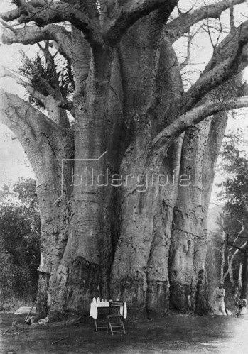 Gebrüder Haeckel: Tanganjika: Affenbrotbaum, um 1905