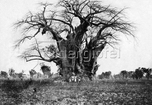 Gebrüder Haeckel: Affenbrotbaum in Ost-Afrika, um 1910