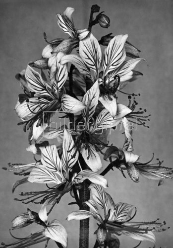 """Blüten des Diptam, im Volksmund """"Brennender Busch"""" genannt."""