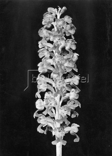 Blüte der Nestwurz, Orchidee