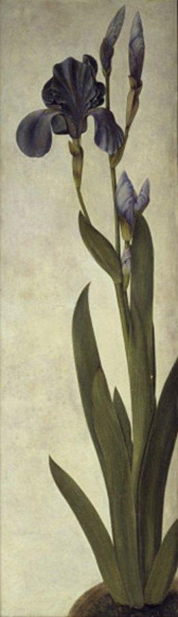 Albrecht Dürer: Iris (Iris troiana), v