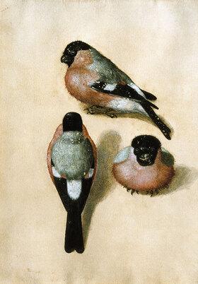 Albrecht Dürer: Ein Vogel in drei Positionen - Dompfaffen Studie