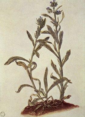 Albrecht Dürer: Liebäugel (Anchusa officinalis)