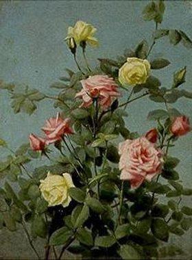 George Cochran Lambdin: Rosen, rosa und gelb
