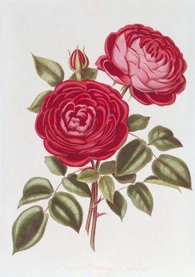 William Curtis: Die Rose Perpetual Standard of Marengo