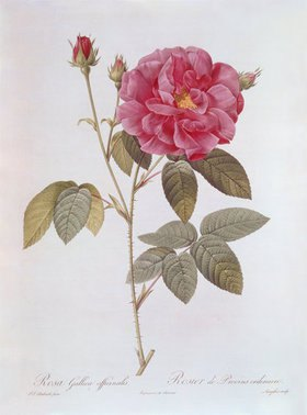 Pierre Joseph Redouté: Die Rose Rosa Gallica officinalis