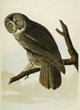 John James Audubon: Der Bartkauz. Aus: 'The Birds Of America'
