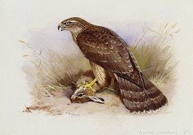 Archibald Thorburn: Der Habicht