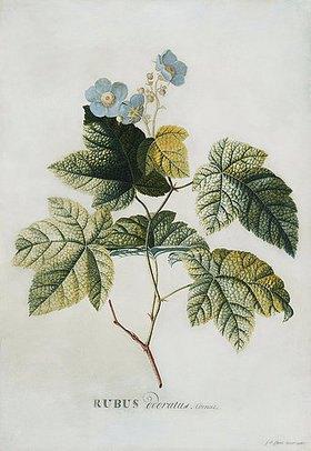 Georg Dionysius Ehret: Rubus