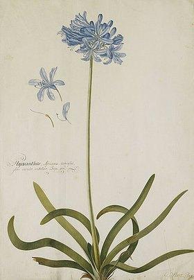 Georg Dionysius Ehret: Schmucklilie. Bezeichnet Hyacinthus Africanus, tuberosus