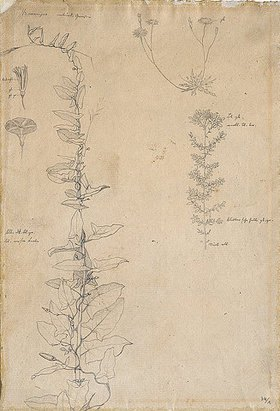 Johann Wilhelm Preyer: Studie von Feldblumen und Kräutern - verso