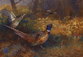 Archibald Thorburn: Zwei Fasane am Waldrand