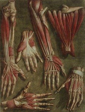 Jacques Gautier d'Agoty: Gruppe von sezierten Händen. Aus: 'Essai d'Anatomie' von Jacques Gautier D'Agoty (1710-1789) und Joseph Guichard Duverney. Paris: Gautier [vol. I]; Gautier, Quillau Pre Et Fils, und Lamesle [Vol. II]