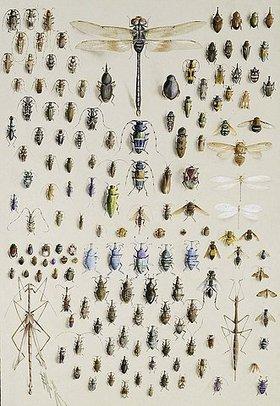 Marian Ellis Rowan: Darstellung von 150 Insekten, oben in der Mitte mit einer großen Libelle