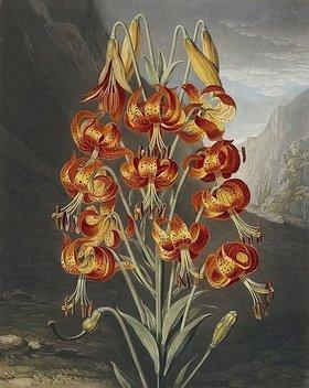 Robert John Thornton: Lilie. Aus den Werken 'A New Illustration of the Sexual System of Carolus Von Linnaeus' und 'Temple of Flora or: Garden of Nature'. Herausgegeben zwische 1799 u. 1807