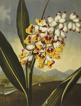 Robert John Thornton: Nickende Renealmia. Aus den Werken 'A New Illustration of the Sexual System of Carolus Von Linnaeus' und 'Temple of Flora or: Garden of Nature'. Herausgegeben